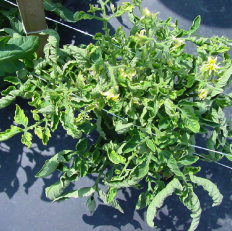 Spread of TYLC is by the feeding of TYLCV infected adult whiteflies. Mechanical or seed transmission is not known to occur. Upward curling and yellowing of the leaves is an early symptom.