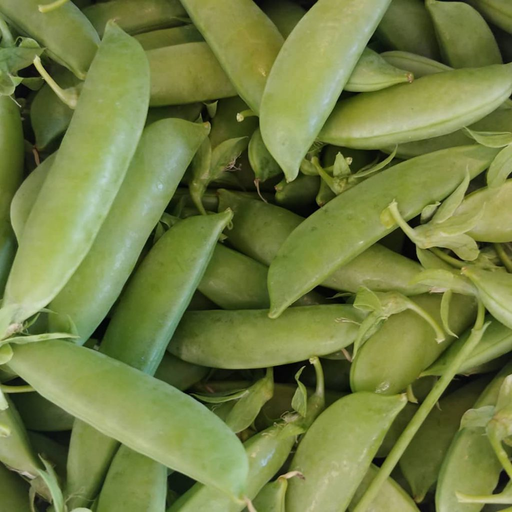 Sugar snap peas prefer to be planted when the soil is cool and the pods are delicious raw or cooked. Photo by Full Earth Farm.