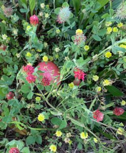 Pink Easter egg hidden in crimson clover and hop clover mix
