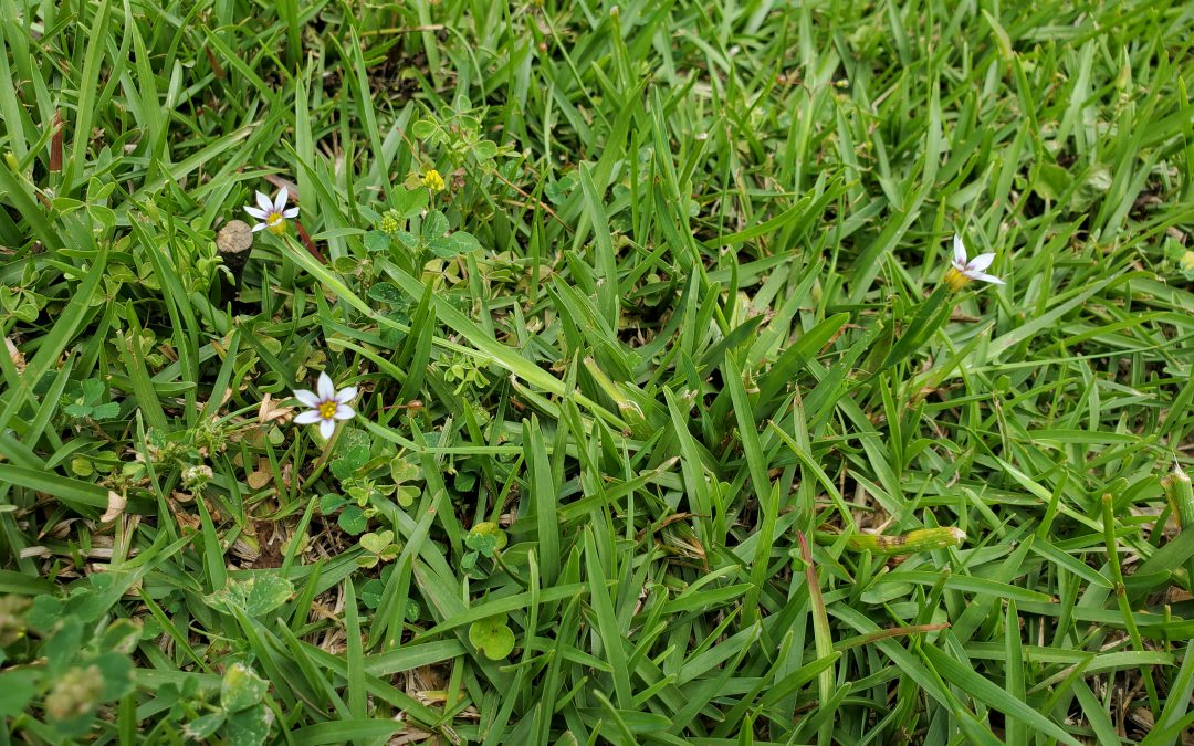 Blue Eyed Grass, Annoying Weed or Pretty Native Plant?  It Depends!