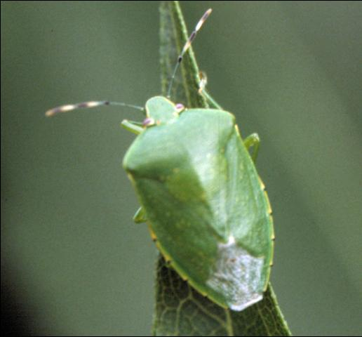 The green stink bug Acrosternum hilare (Say)