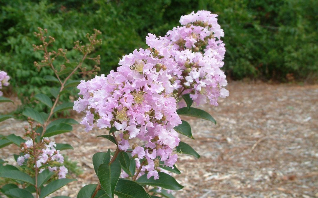 Video: Crape Myrtle in It's Natural Form