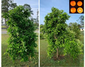 Parson Brown Sweet Orange