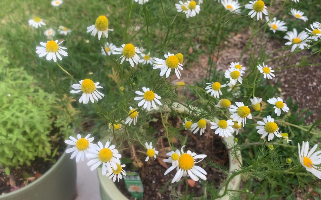 Video: Growing Chamomile in the North Florida Garden
