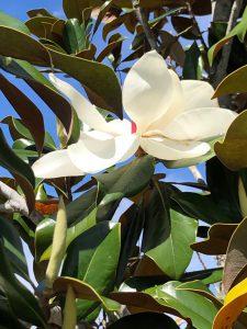 Magnolia Bloom in Spring