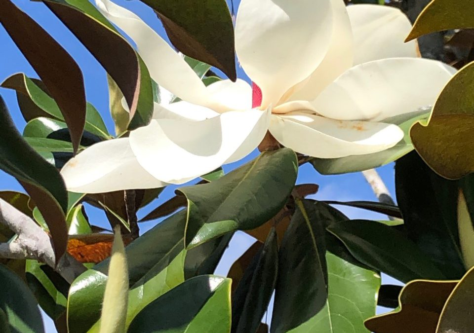 Magnolia Tree a Tradition