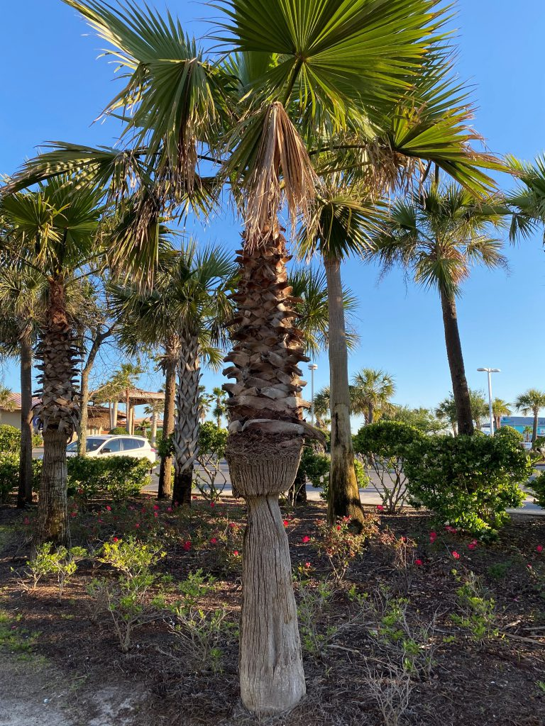 A palm tree with an irregularly shaped trunk due to water stress.