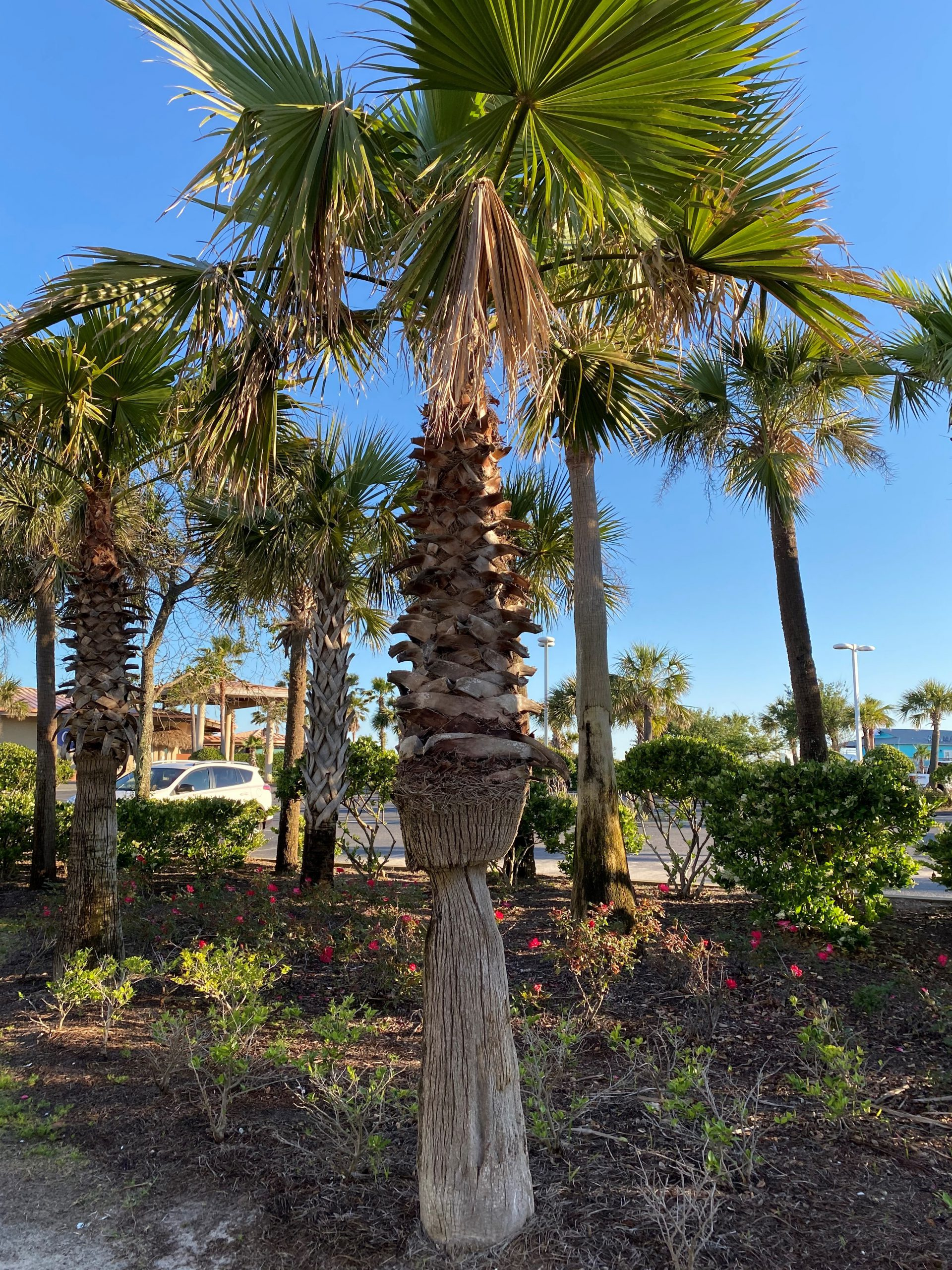 Palm Care Gardening In The Panhandle