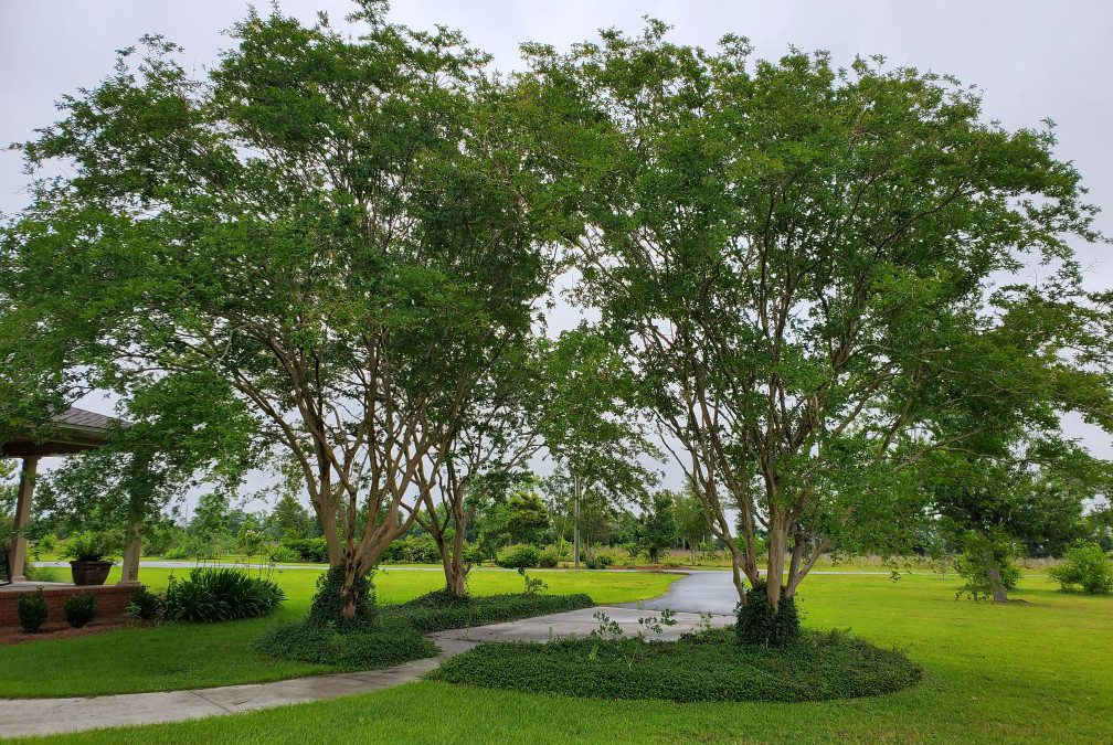 How to Not Fail Growing Crape Myrtles