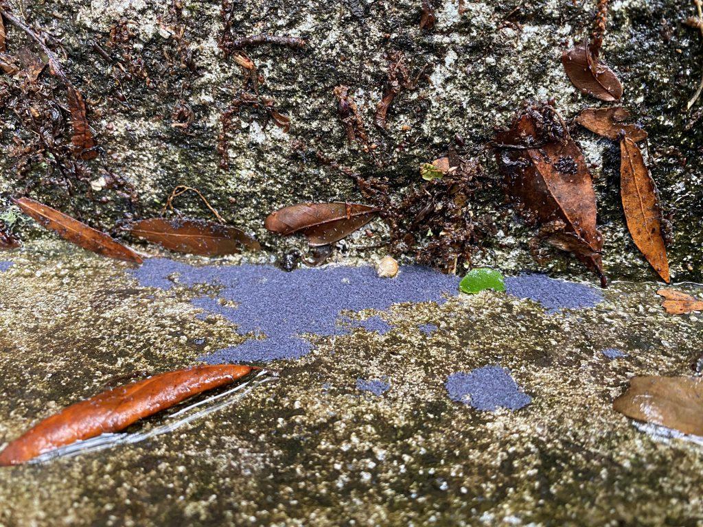 A swarm of Desoria flora