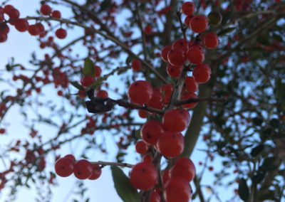 Bright red berries on weeping yaupon tree.
