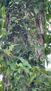 Smilax Vine on Tree Trunk