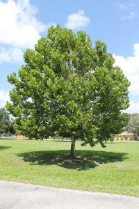 Even with this young sycamore, you'll be made in the shade