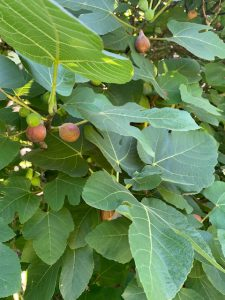 Section of mature fig tree with ripe fruit