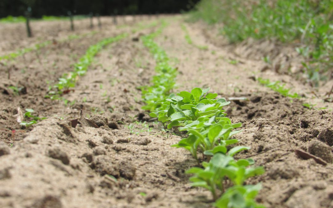 Top Tips for Vegetable Gardening in North Florida