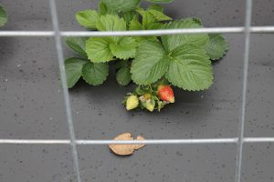"""Strawberries growing on """"plastic"""" to protect them from water splashed fungal spores found in soil. Image Credit: Matthew Orwat UF/IFAS Extension Washington County"""