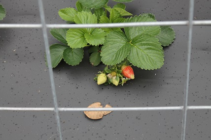 Plant Strawberries in Fall for Early Spring Delights