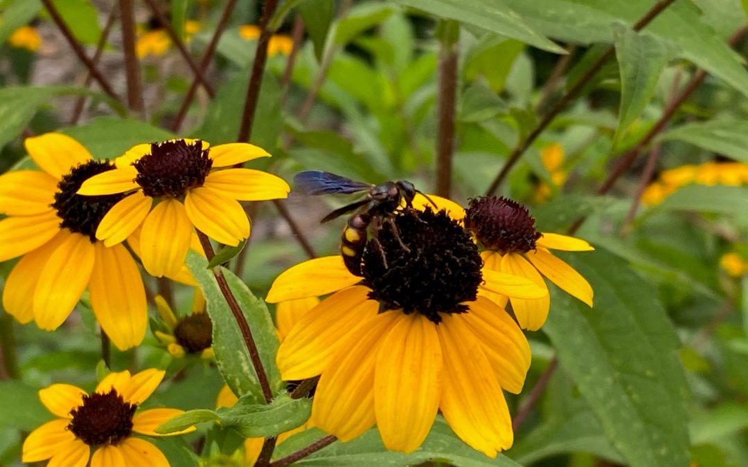 Florida Wildflowers: Brown-eyed Susan