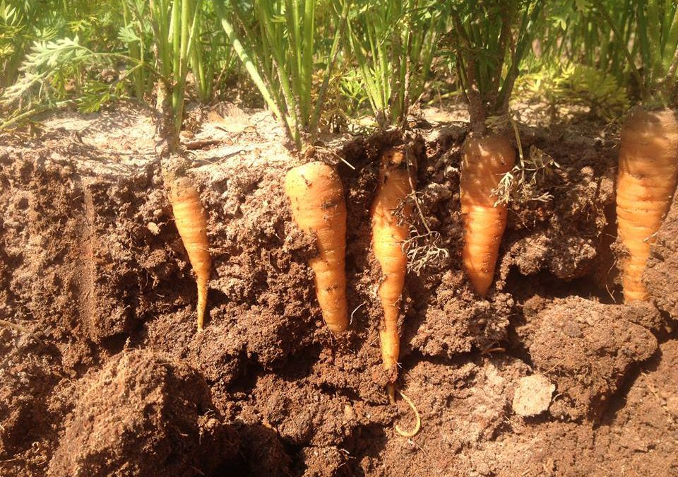Thinning Carrots for the Greater Good