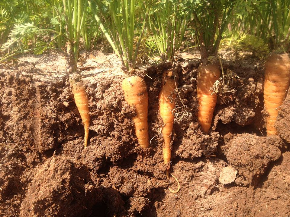 Carrots need enough space so as not to compete for light, nutrients, or moisture. Photo by Full Earth Farm.