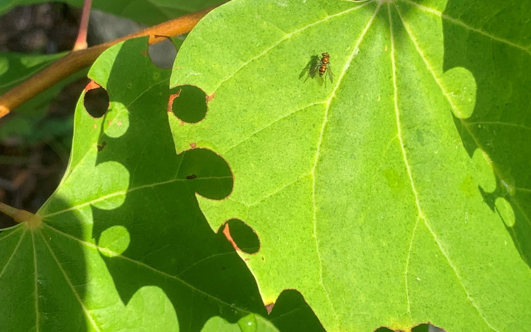 Easy Identification for Leafcutter Bees
