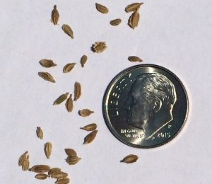 Hand-seeding carrots can be a challenge, as the seeds are very small. Photo by Molly Jameson.