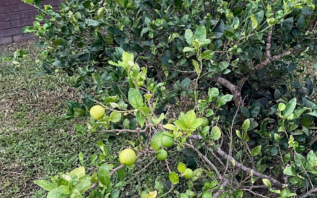 Be Patient with Key Limes