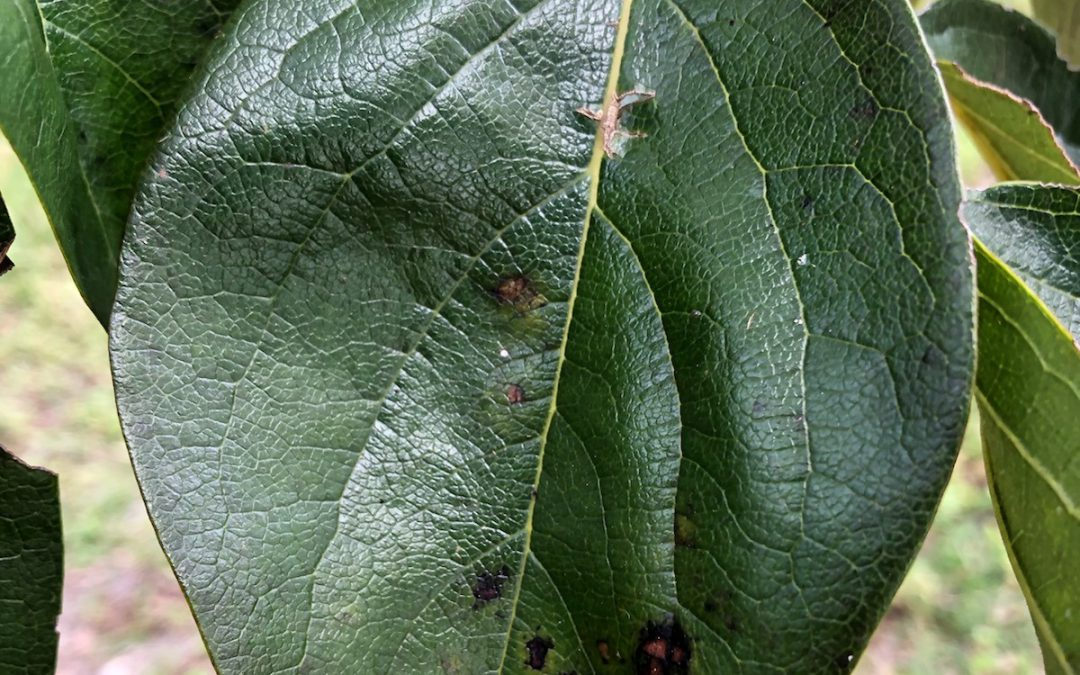 Spotted Fall Tree Leaves: Harmful or Innocuous?