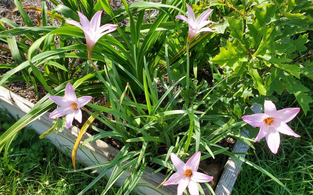 Rainlily: A Rewarding Bulb for Panhandle Gardeners
