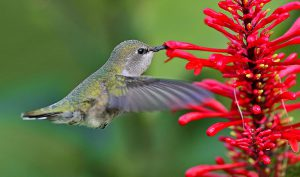 Red flower with hummingbird