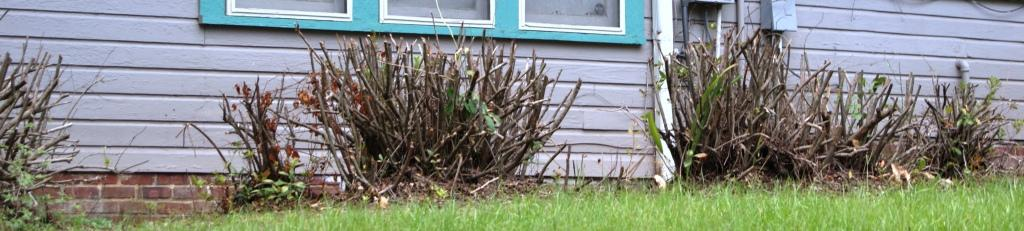 Azaleas pruned late in the fall will have little or no bloom in the spring. Image Credit: Matthew Orwat