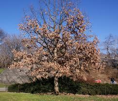 declining oak