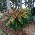 king sago palm with manganese deficiency symptoms