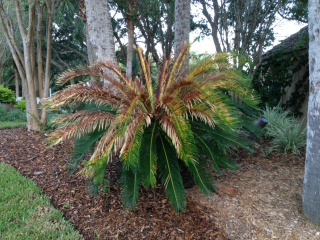 What S Wrong With My Sago Palm Gardening In The Panhandle