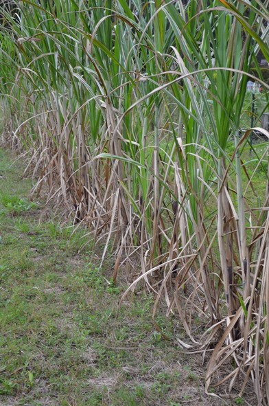 Row of sugar cane. Image Credit: Les Harrison
