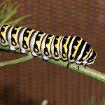 Look Out for Black Swallowtail Larvae in the Fall Herb Garden