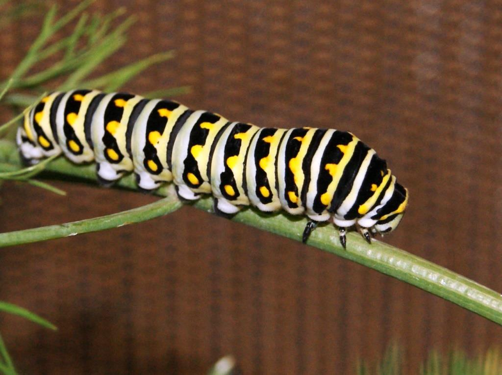Second instar, Black Swallowtail larva. Image Credit Matthew orwat