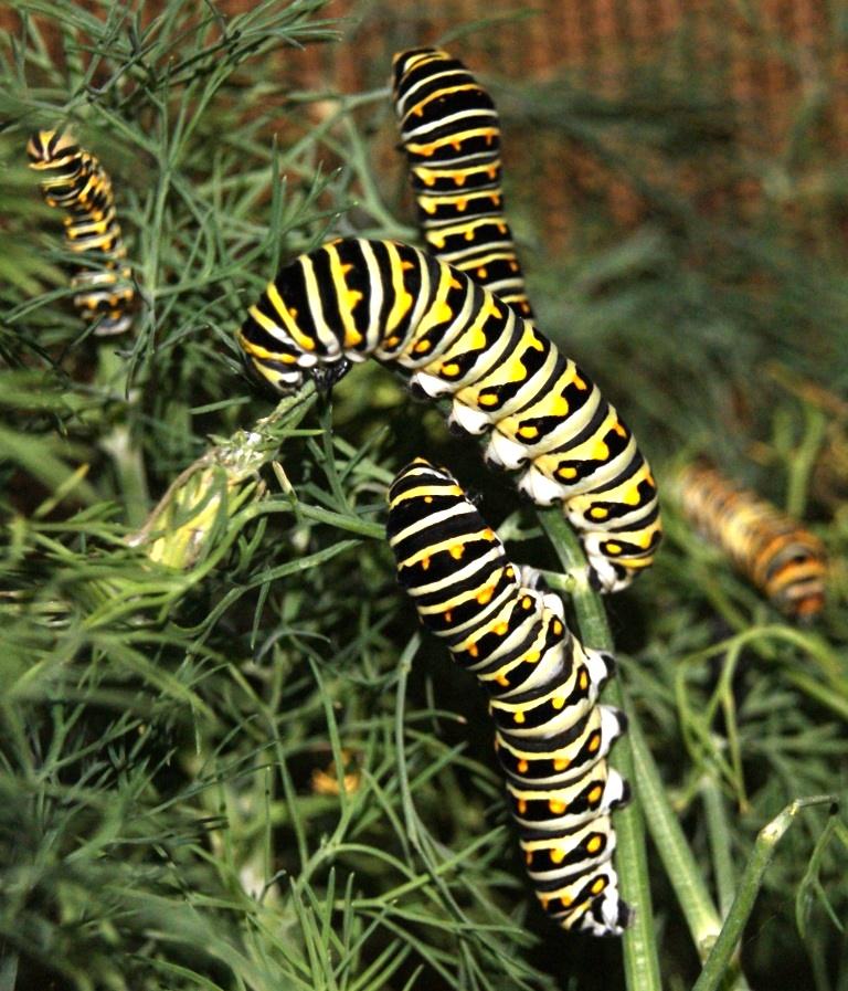 Larvae Busily Devouring Dill. Image Credit Matthew Orwat