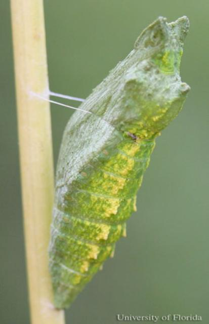 Green Chrysalis. Image Credit Don Hall UF IFAS