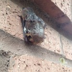 A young bat roosts along the bricks of a UWF campus building last summer.