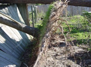 If a tree is completely uprooted, its odds of recovery are severely limited and it is best to remove the tree.  Photo courtesy Beth Bolles, UF IFAS Extension