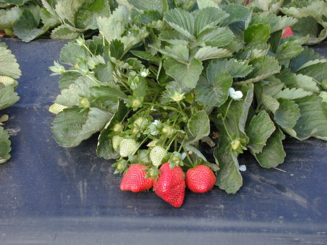 Sweet Charlie Strawberry. Credit: C.K. Chandler, UF IFAS Extension