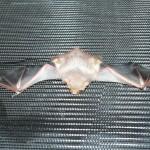 Battling Bat Myths