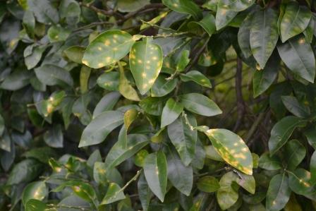 2013-11-21 Citruscanker_SR_clusterleaves_lesions