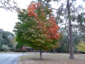 Florida maple beginning to exhibit fall color. Photo credit: Larry Williams