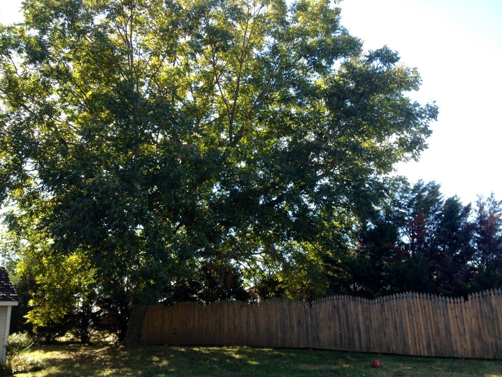Pecan tree planted by my great-grandparents in Monrovia, Alabama.