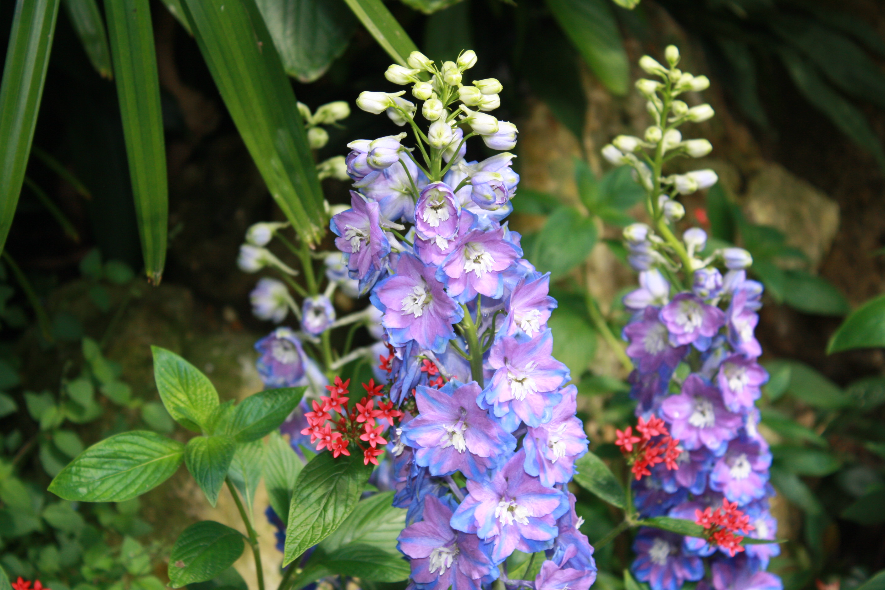 Winter annuals a fantastic color option gardening in the panhandle delphiniums izmirmasajfo