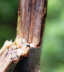 Black Twig Borer inside the stem. Image Credit Matthew Orwat UF IFAS Extension