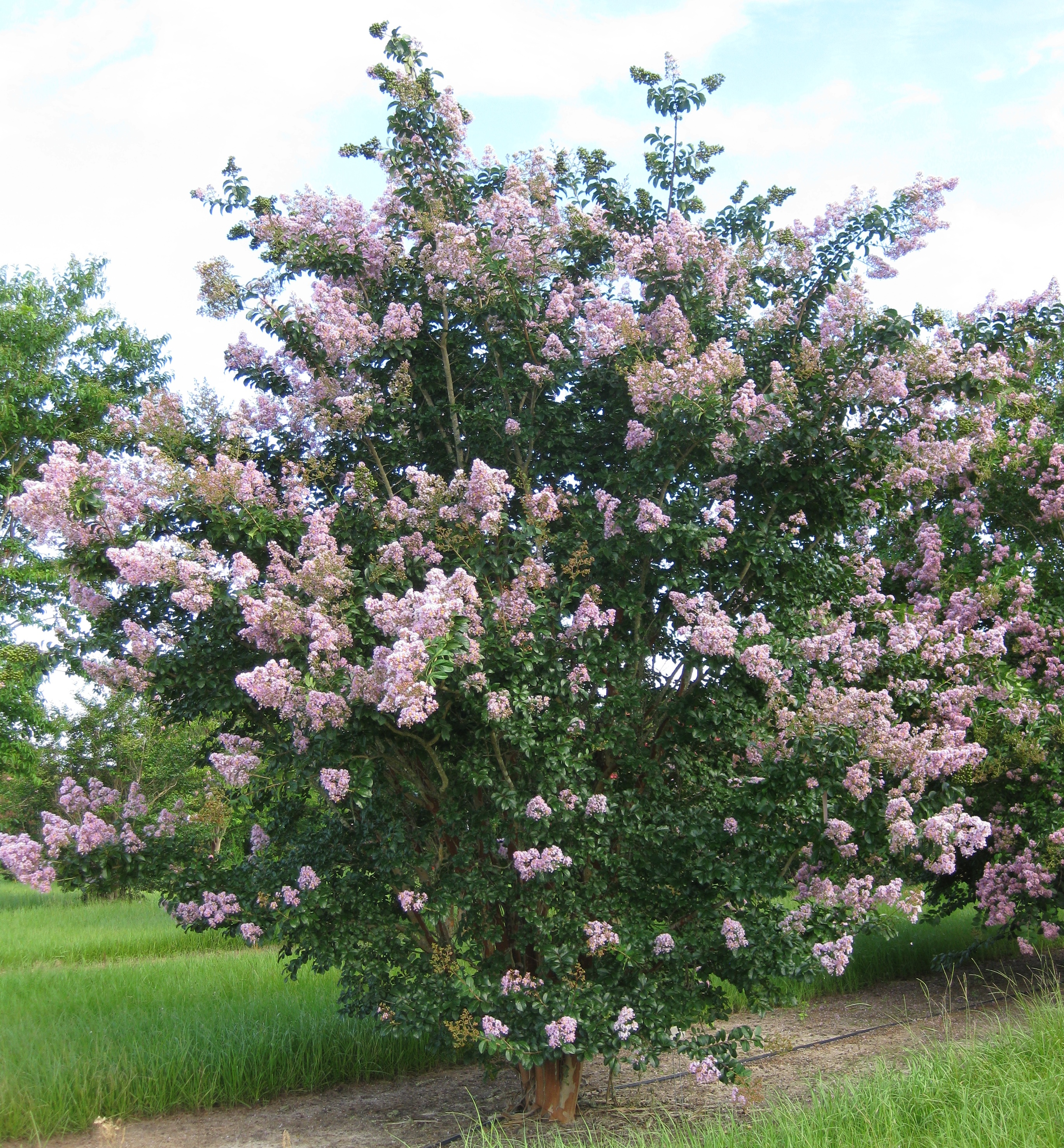 plant profile apalachee crapemyrtle lagerstroemia indica fauriei apalachee newsletters. Black Bedroom Furniture Sets. Home Design Ideas
