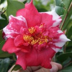 Camellia Grafting Class Saturday January 18th